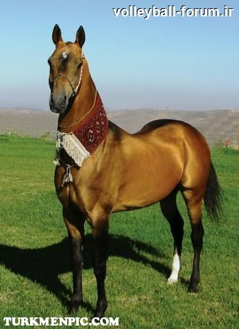 تايپک جامع اسب ترکمن +تصاوير زيبا !